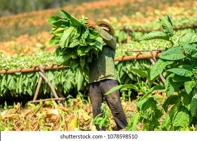 Tobacco farmer collect tobacco leaves. Man working on Cuba tobacco plantation in Vinales Valley