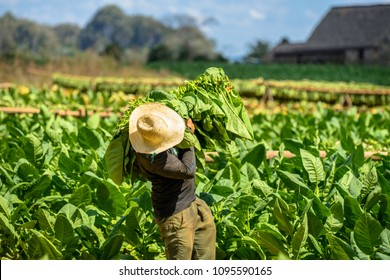Tobacco farmer collect tobacco leaves. Man working on Cuba tobacco plantation in Vinales Valley. Working people