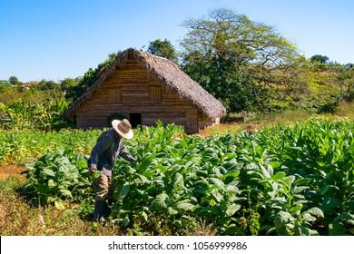 Tobacco farmer in the tobacco field at work