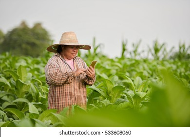 Tobacco farmers of Thailand