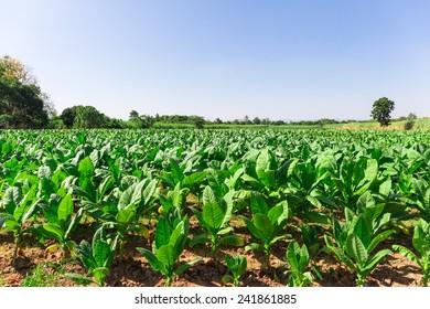tobacco farm,tobacco field