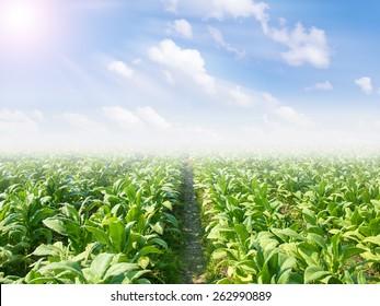 tobacco field.
