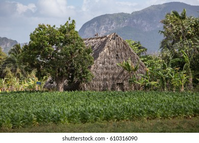 A tobacco field and barn in Vinales Valley, Cuba.