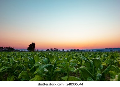 Tobacco field with beautiful sky background