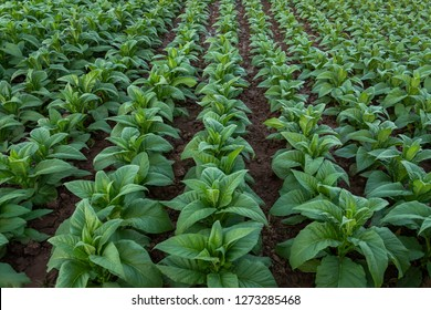 Tobacco field, Tobacco big leaf crops growing in tobacco plantation field.