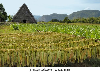 Tobacco field with drying and growing tabacco and at the background a drying house near Vinales Valley, Cuba