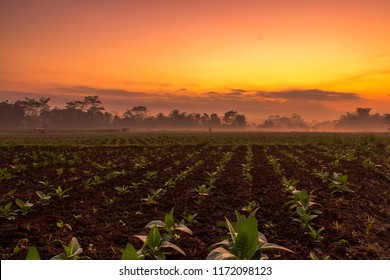 Tobacco field in the morning at Magelang, Indonesia
