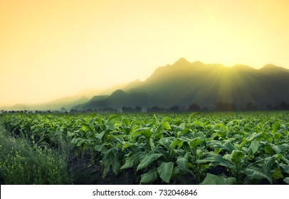 Tobacco field with mountain backgrounds and sunshine. Located in Mae Sai , Chiang Rai, Thailand.
