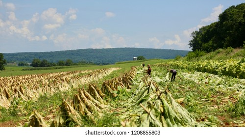 tobacco field on countryside