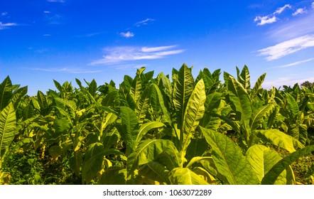 Tobacco field. Plantation