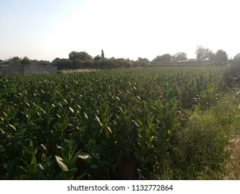 Tobacco field. Plantation
