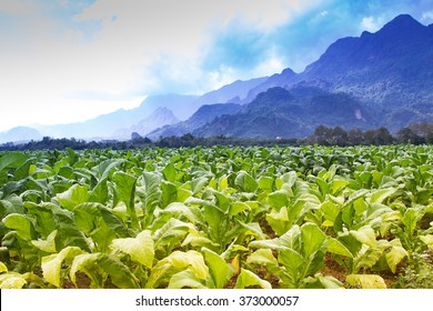 Tobacco field plantation under blue sky