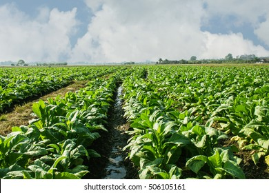 Tobacco field with sky, Agriculture in Asia