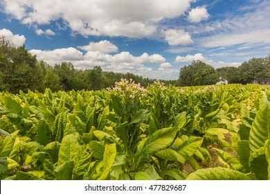 Tobacco Field in Southern Virginia.