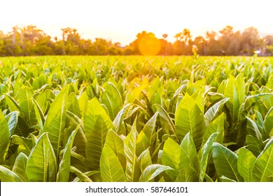 tobacco field in sunset background select focus.