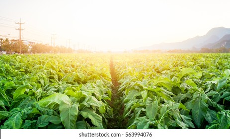 The tobacco field in the sunset time.