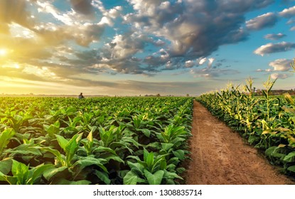 Tobacco field under beautiful sky.Image