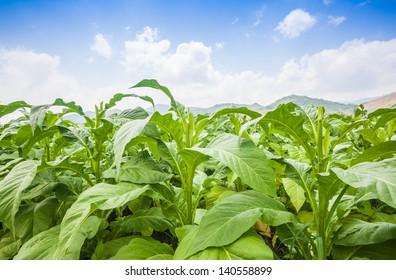 tobacco field under blue sky