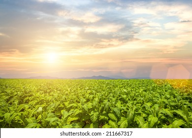 tobacco field under blue sky