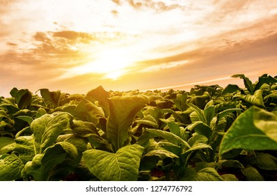 Tobacco fields of Thai farmers with beautiful sky background in Asia
