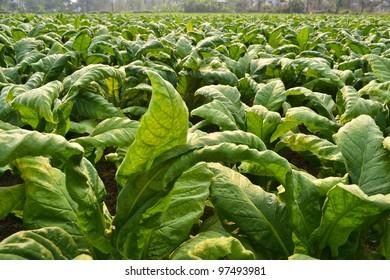 Tobacco Garden Plant Of Thailand