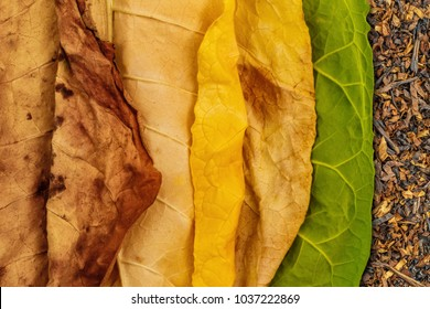 Tobacco green and dry  leaves on tobacco dry leaf cut  background. Tobacco leaves of different ripeness on dry chopped tobacco background.