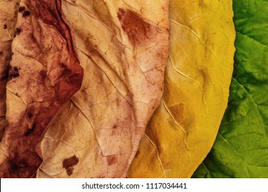 Tobacco green and dry  leaves on tobacco dry leaf cut  background. Tobacco leaves of different ripeness on dry chopped tobacco background