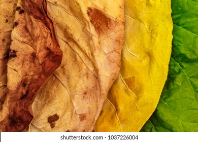 Tobacco green, yellow and dry  leaves. Tobacco leaves of different ripeness  background