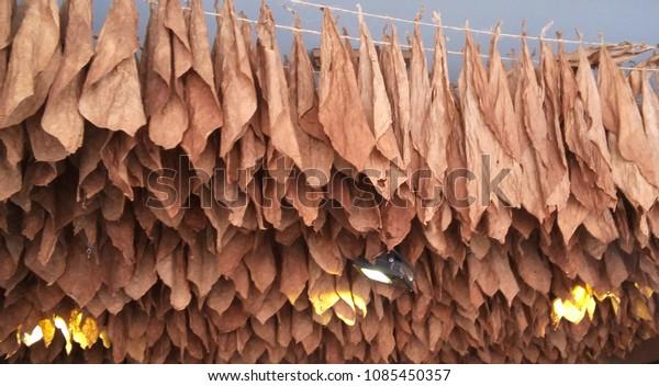 Tobacco Hanging Dry Cigar Shop Playa Stock Photo (Edit Now