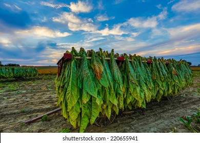 Tobacco hangs from racks on a wagon at sunset in rural Lancaster County Pennsylvania.