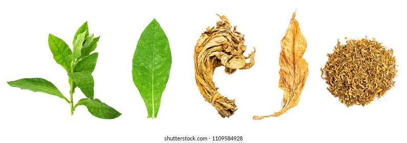 Tobacco leaf and cut tobacco on white background