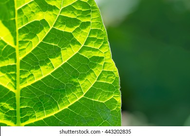 Tobacco leaf half on blurred plantation field sunny background, Germany