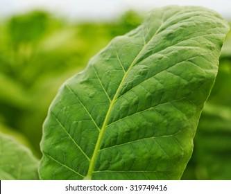 Tobacco   leaf on  blurred tobacco field background, Germany
