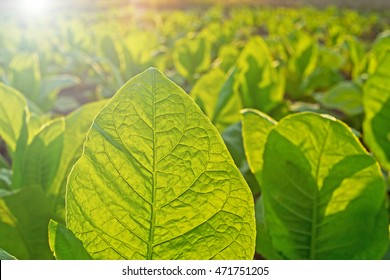 Tobacco leaf on blurred tobacco plantation field background at sunset, close up
