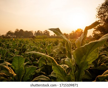 Tobacco leaf and tobacco tree in tobacco farm on sunset time.