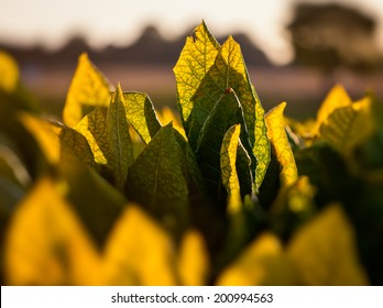 Tobacco leaves backlit by sunset in tobacco field.