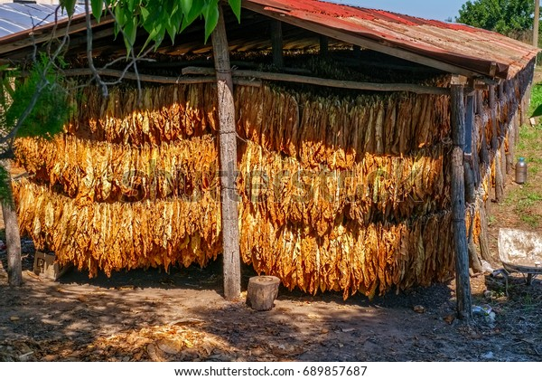 Tobacco leaves drying in the shed, close view