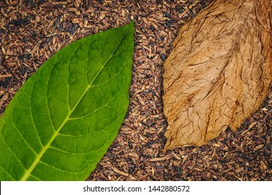 Tobacco leaves texture, close up. High quality green tobacco leaf and dry cut tobacco big leaf, macro closeup, top view