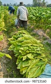 tobacco plant in garden of thailand
