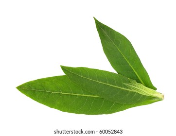 Tobacco plant leaves