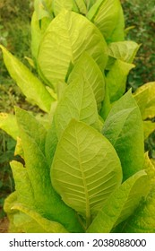 Tobacco plant on tobacco field background.