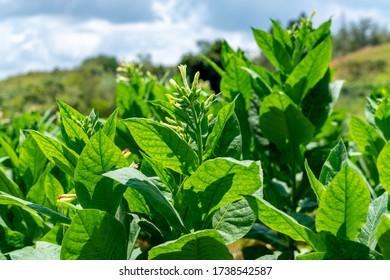 Une plantation de tabac fleurit à Cuba. Fermeture des feuilles et des fleurs en fleurs