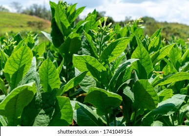 Tobacco plantation blossoming in Cuba. Close-up of leaves and blossom flowers