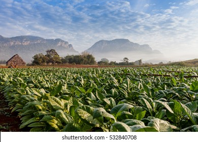 tobacco plantation with deep green leaves and drying house, shot early morning before harvest started
