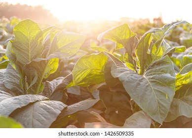 Tobacco plantation on a morning with lush green leaves at thialand