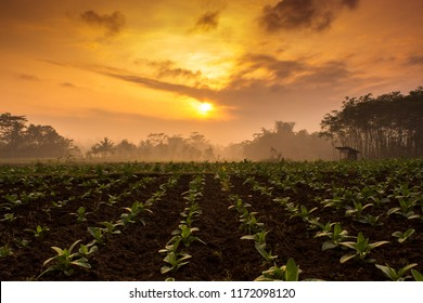 Tobacco plantation under the cloudy sky, Indonesia