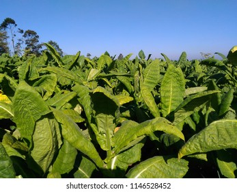 Tobacco plantation in Wonosobo, Central Java, Indonesia. Fresh tobacco leaves with blue sky background.