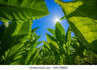 Tobacco planted at the farm on a bright blue day.