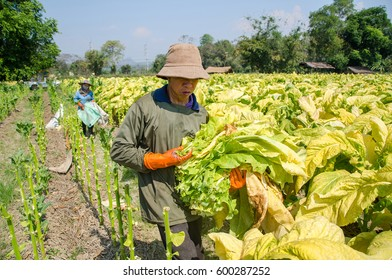 Tobacco planters in Thailand.