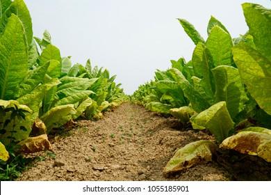 Tobacco plants with big leaf on tobacco plantation field background. Sukhothai, Thailand